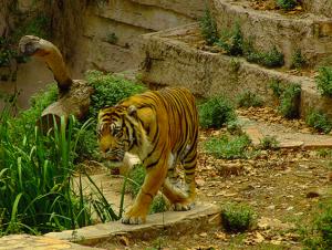 tiger fra barcelona zoo